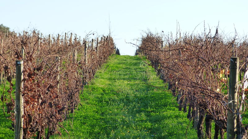 Download The vineyards stock photo. Image of dried, quiet, brown - 64134648
