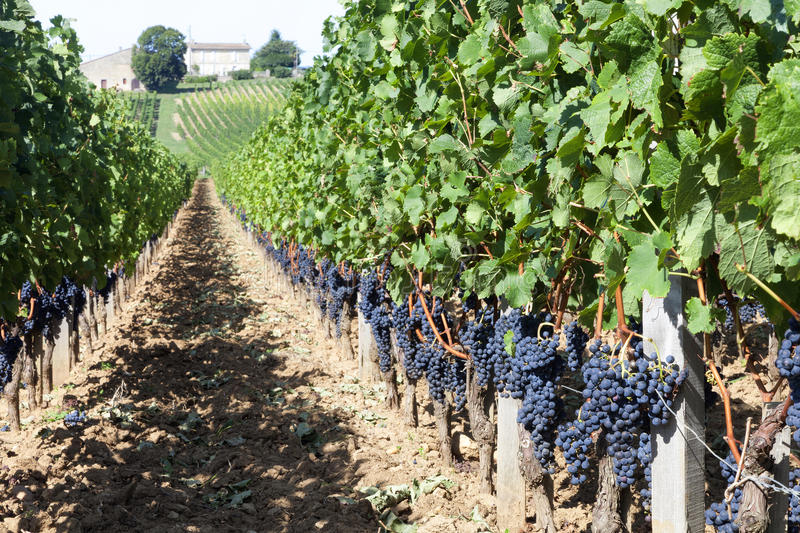 Vineyards in France. Vineyards in Bordeaux, France. A vineyard in the St Emillion region on a very sunny day stock photos
