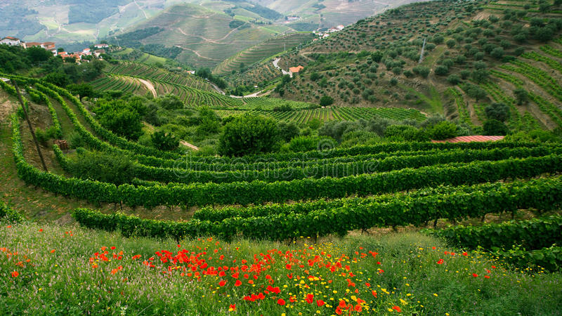 Vineyards are on a hills at Douro Valley royalty free stock images