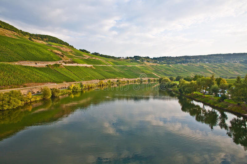 Vineyards at the hills of the romantic river Mosel edge in summer with fresh grapes and reflection in the river stock photo