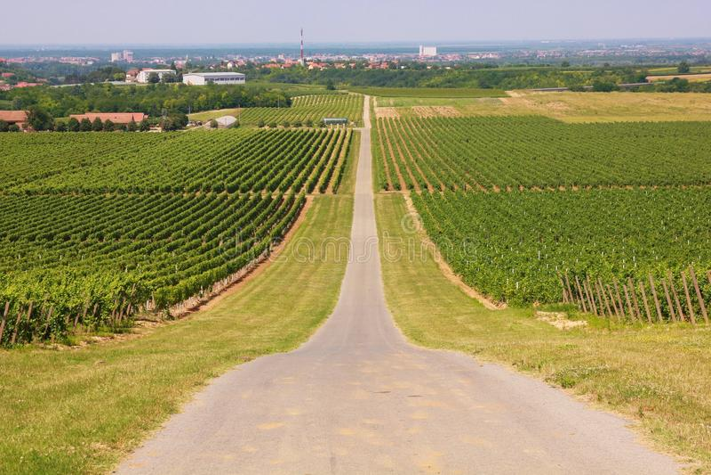 Vineyards in Ilok. Rows of vineyard in Ilok (Croatia royalty free stock photos