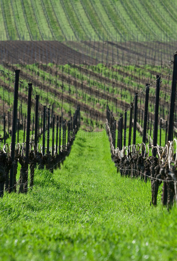 Free Vineyards In Spring Stock Photography - 12546602
