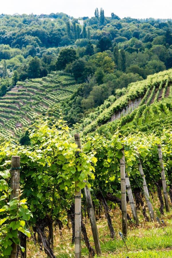 Free Vineyards In Stuttgart Stock Photo - 33115620