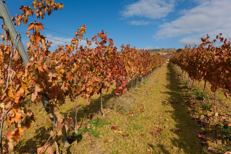 Vineyards in Laguardia royalty free stock photography