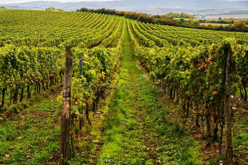 Vineyards landscape royalty free stock image