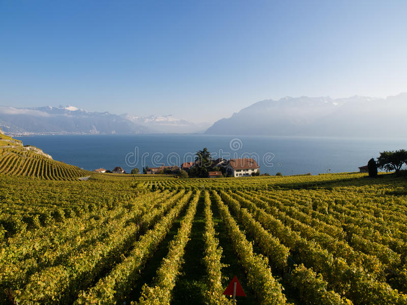 Vineyards in Switzerland. The northen hillside of Lake Geneva (Lake Leman), Switzerland, between Lausanne and Montreux is covered in scenic vineyards, all under stock image