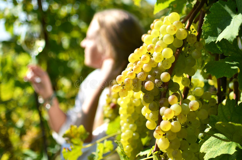 Vineyards in Lavaux, Switzerland stock image