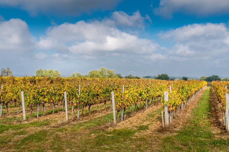 Vineyards in Medoc region near Bordeaux in France with hills grapes and trees stock photos