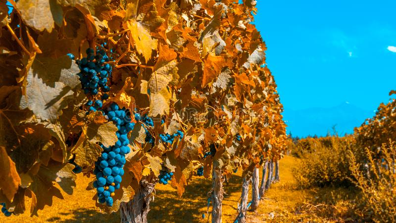 Vineyards of Mendoza in autumn colors, Argentina stock photo