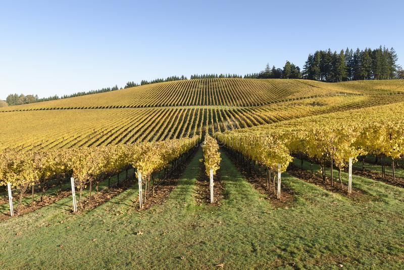 Fall Morning Colors of Vineyards in the Mid Willamette Valley, Marion County, Western Oregon. Vineyards in the Mid Willamette Valley royalty free stock images