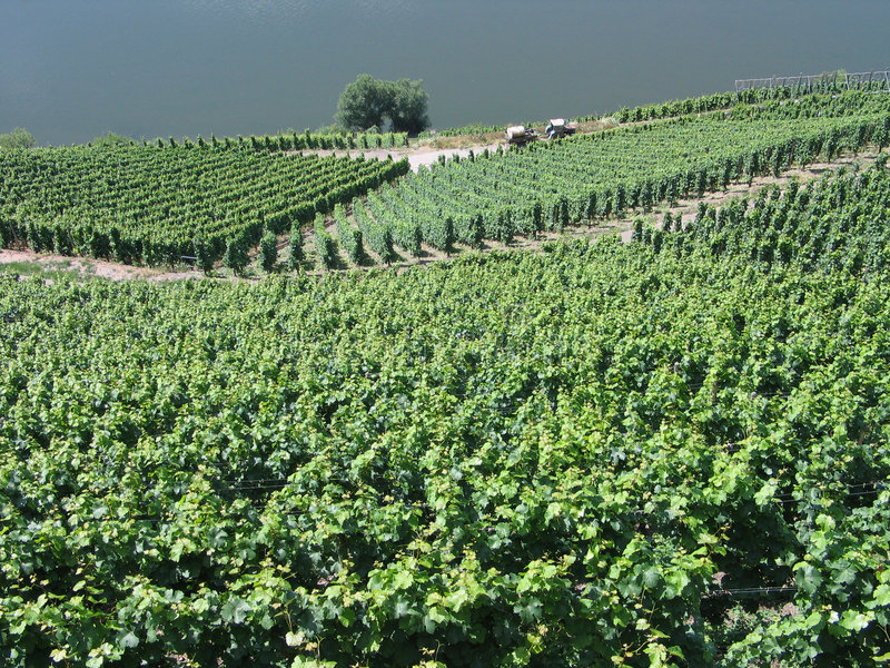 Vineyards in Mosel Germany. Vineyards grapes fields on the hills in the Mosel area Germany stock photos
