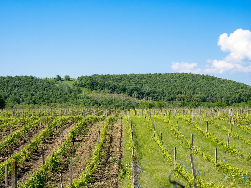 Vineyards near Focsani, Romania, in spring. Freshly plowed, with a patch of forest in the background and blue sky overhead stock photography
