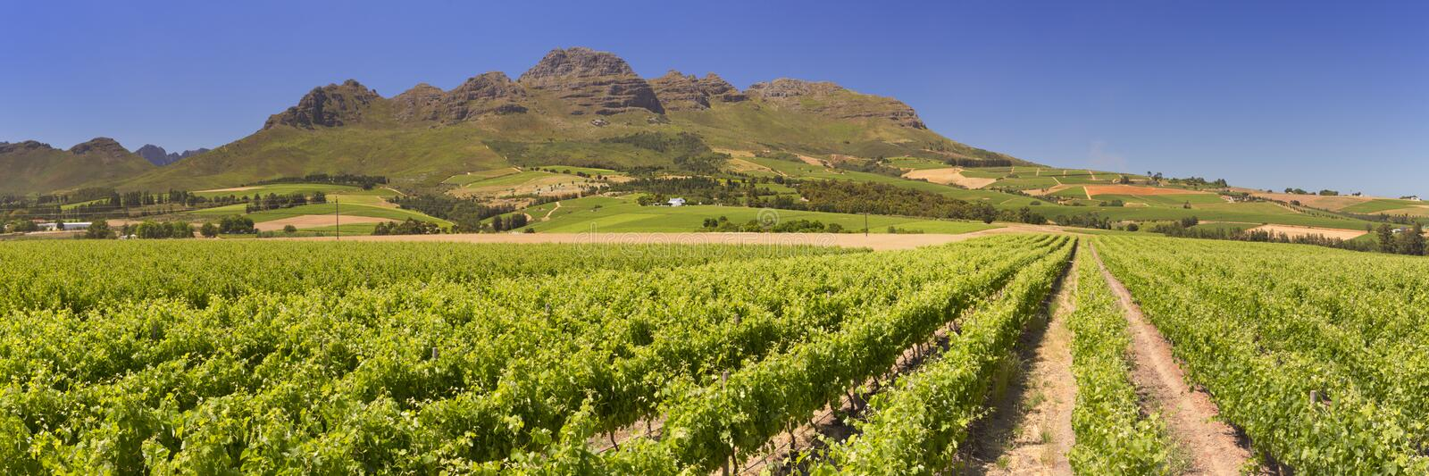 Vineyards near Stellenbosch in South Africa. Vineyards with mountains in the background near Stellenbosch in South Africa royalty free stock photo