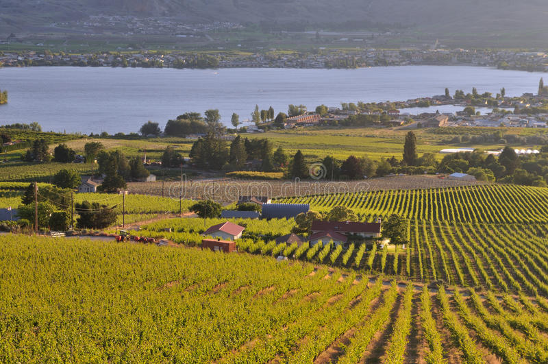 Download Vineyards And Orchards In Osoyoos Stock Image - Image: 20198169