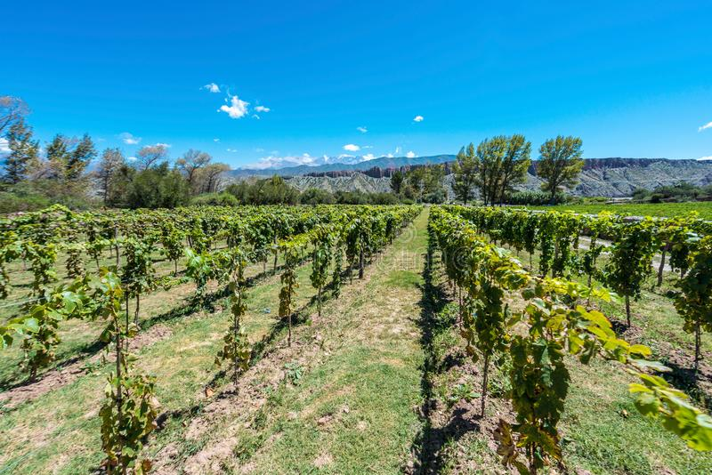 Vineyards in Payogasta in Salta, Argentina. Vineyards in Payogasta along famous Route 40 in its section through the northern province of Salta, Argentina royalty free stock image