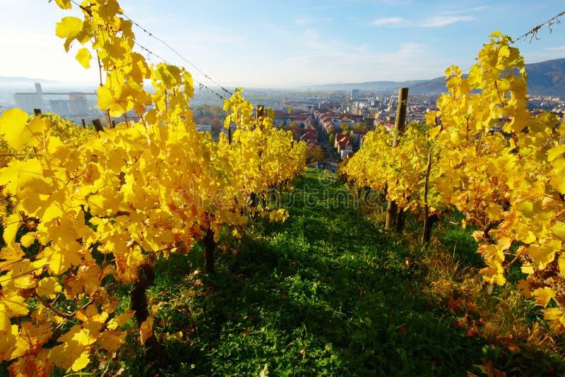Vineyards On Piramida Hill In Autumn, Maribor. Landscape with vineyards above city of Maribor on Piramida in sunny morning in golden autumn colors (east Slovenia stock photos