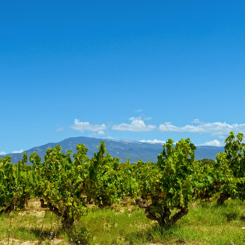 Vineyards Provence royalty free stock photography