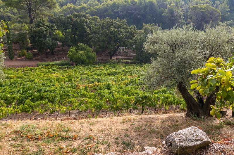 Vineyards in Provence royalty free stock images
