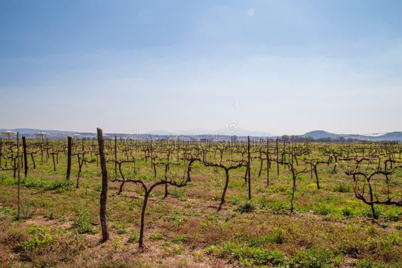 vineyards queretaro Mexico stock photo