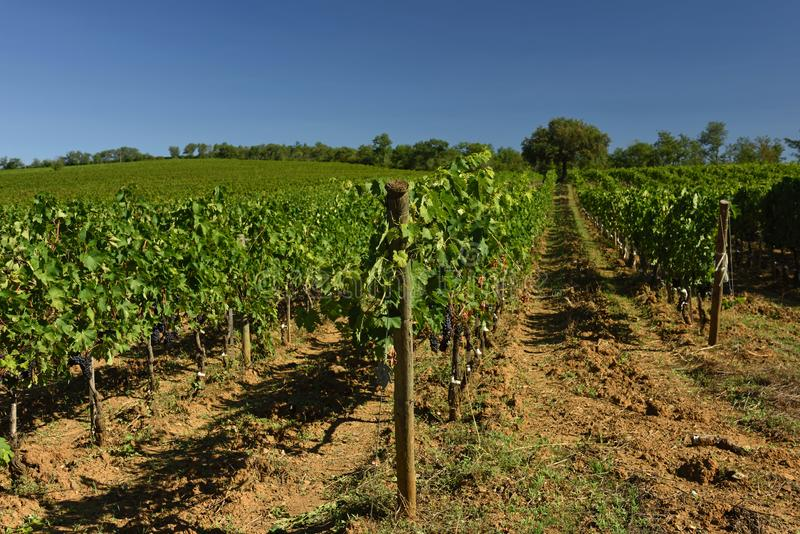 Vineyards, Tuscany, Italy royalty free stock photography