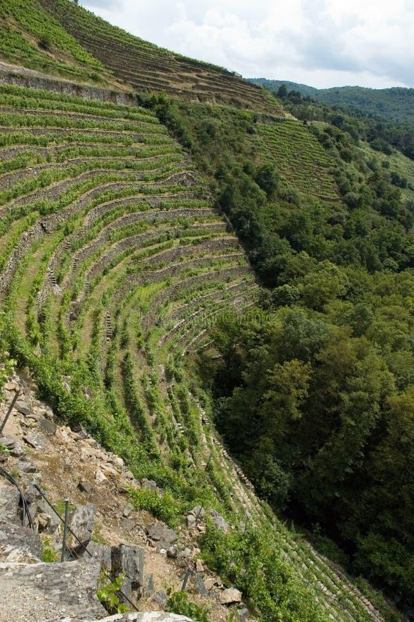 Vineyards of Ribeira Sacra. Terraced vineyards of Ribeira Sacra, a region of Spain royalty free stock photos