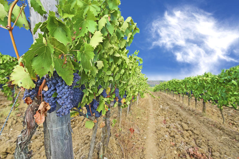 Vineyards and ripe grapes, Italy stock images