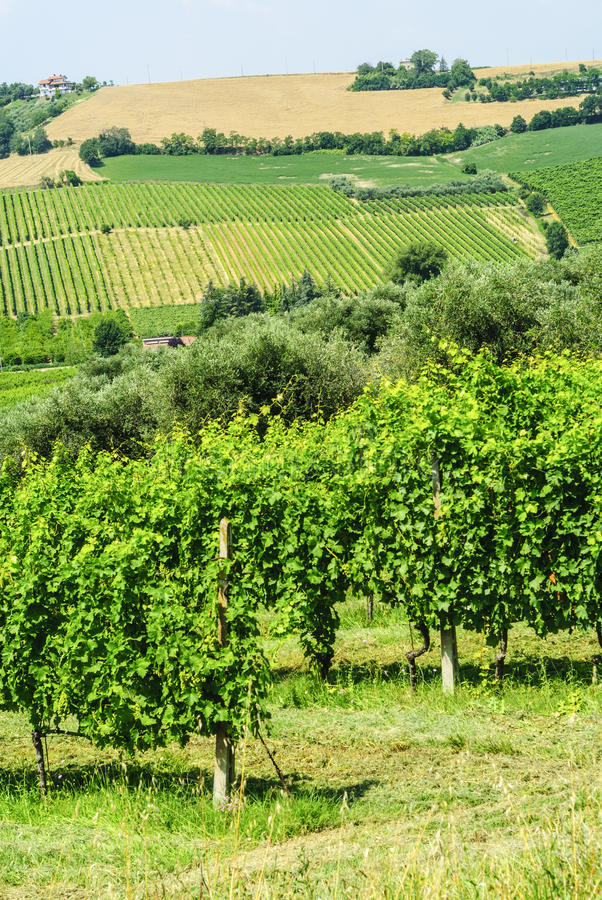 Download Vineyards in Romagna stock image. Image of sunny, photography - 28649001