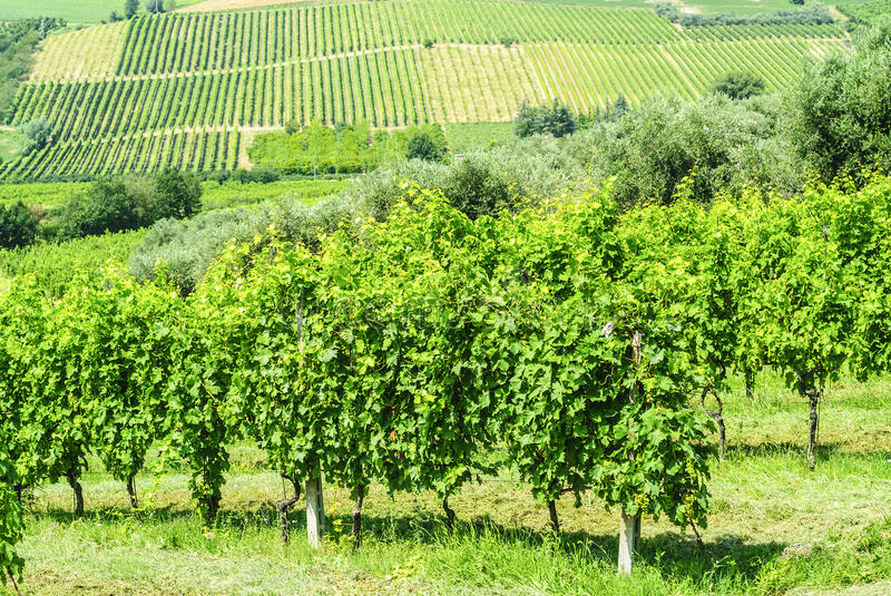 Download Vineyards in Romagna stock image. Image of cultivation - 28649005