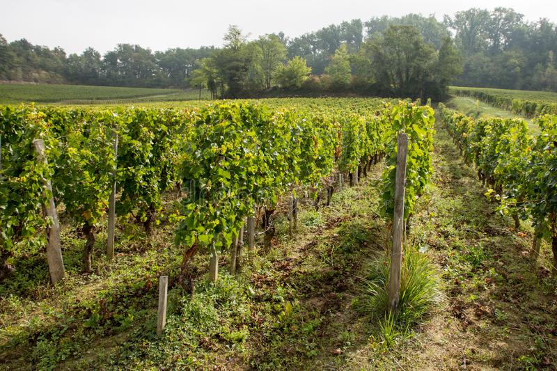 Vineyards of Saint Emilion harvesting time stock images