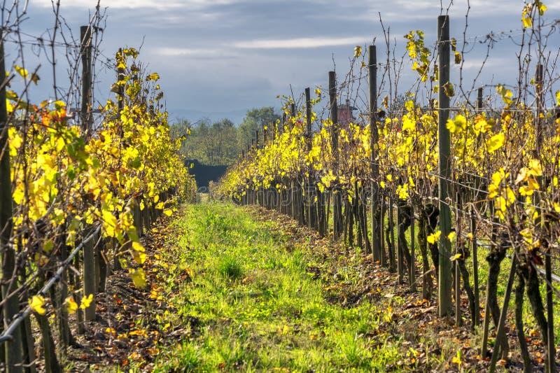 Vineyards of San Colombano, Italy. Vineyards of the San Colombano al Lambro hill, Milan, Lombardy, Italy, at fall royalty free stock images