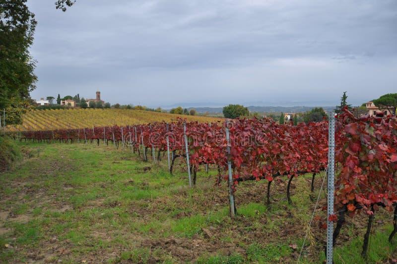 Vineyards for sangiovese San Miniato Tuscany Italy royalty free stock image