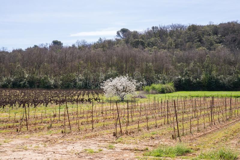 Vineyards, France. Vineyards in South of France, with a bloomy cherry tree stock photo