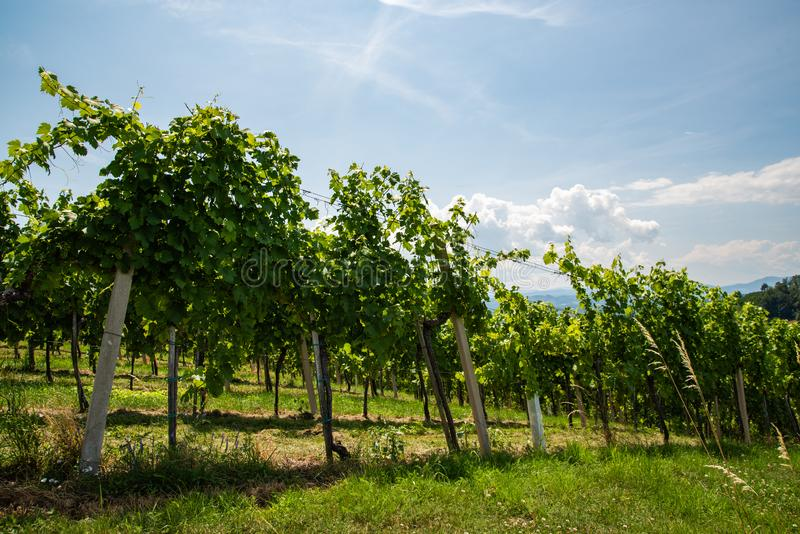 Vineyards in south styria in Austria. Landscape of Leibnitz area Crops of grapes in July. Tourist destination, Green hills of grape crops and mountains stock images