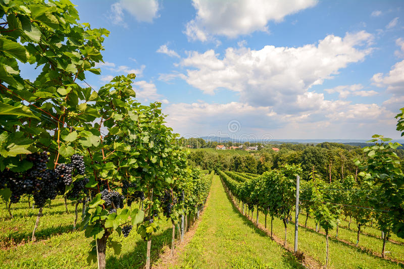 Vineyards in Southern Styria near Gamlitz before harvest, Austria. Europe royalty free stock photography