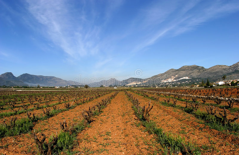 Vineyards of Spain in early season. Vines cut to the core. Sunny blue skies and converging lines royalty free stock image