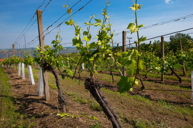 Vineyards at sunny day, grapes in spring stock photo