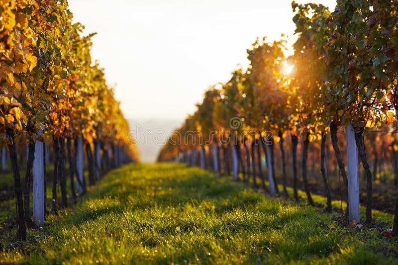 Vineyards at sunset, autumn colors stock image