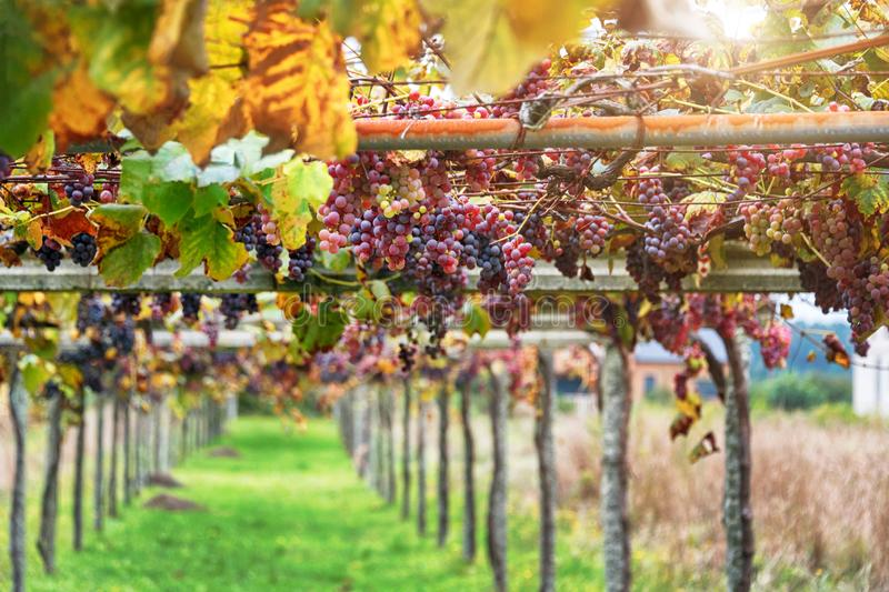 Vineyards at sunset in autumn harvest. Close up of a bunch of grapes, background. Ripe grapes in fall royalty free stock photo