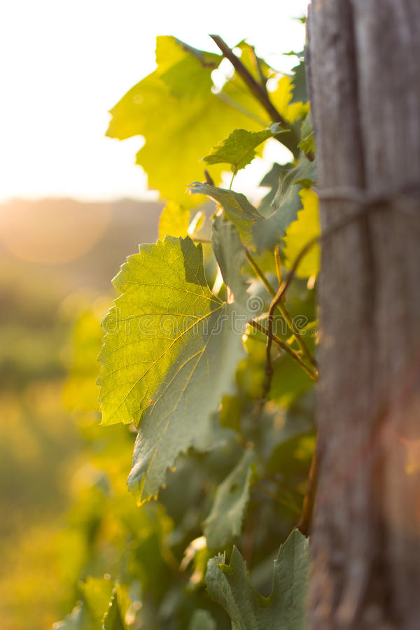 Vineyards at Sunset in Autumn Harvest. Landscape with Organic Grape on Vine Branches. royalty free stock photo