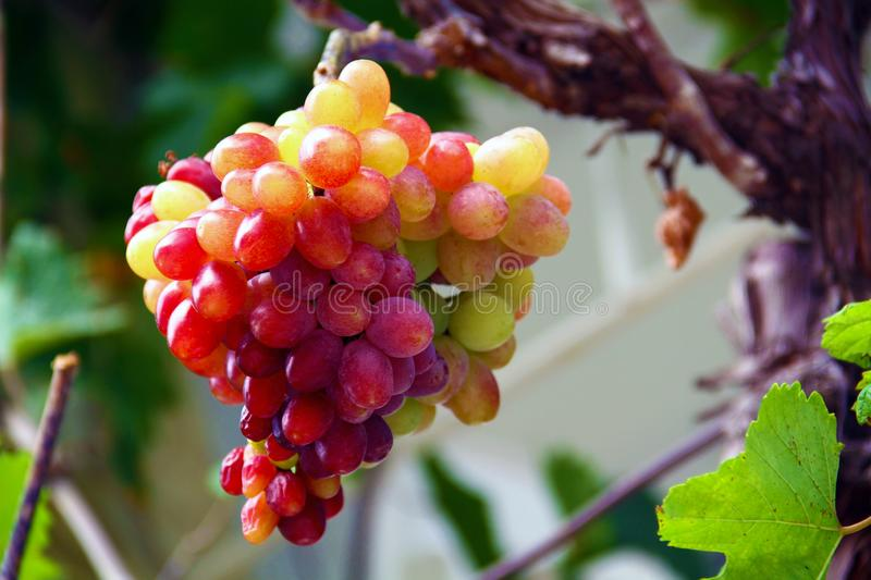 Vineyards at sunset in autumn harvest. Ripe grapes in the fall royalty free stock images