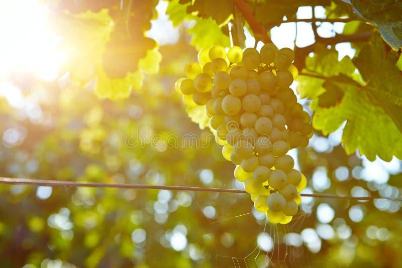 Vineyards at sunset in autumn harvest stock photo