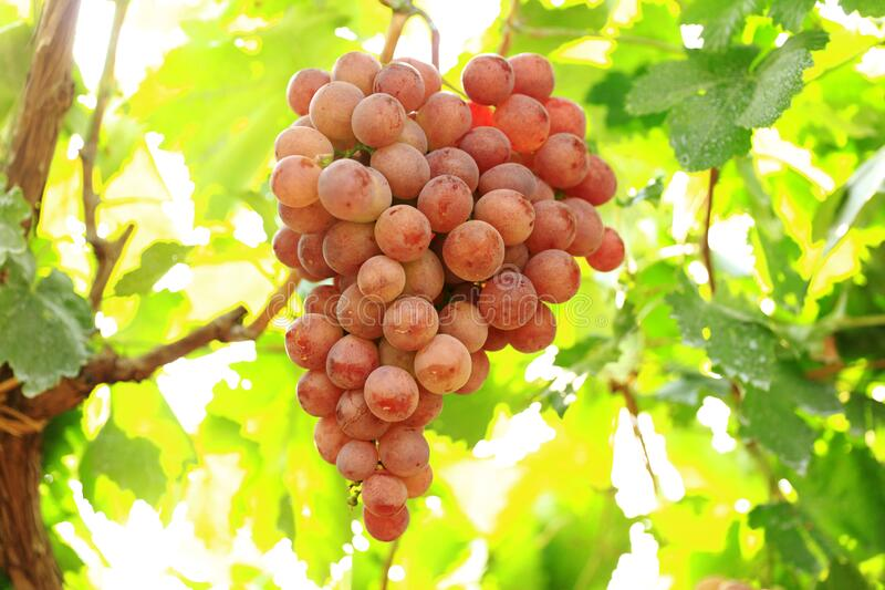 Ripe grapes in fall. Vineyards at sunset in autumn harvest. Ripe grapes in fall stock photo