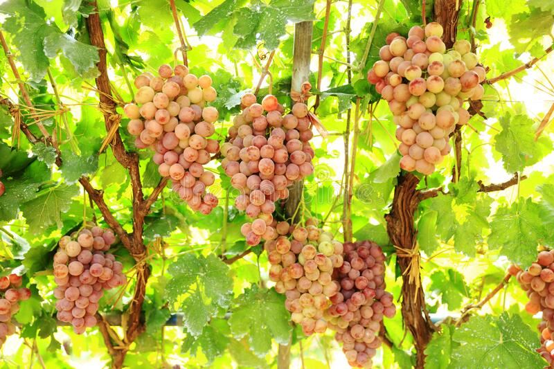Ripe grapes in fall. Vineyards at sunset in autumn harvest. Ripe grapes in fall stock photography