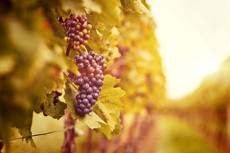 Vineyards at sunset in autumn harvest royalty free stock photos