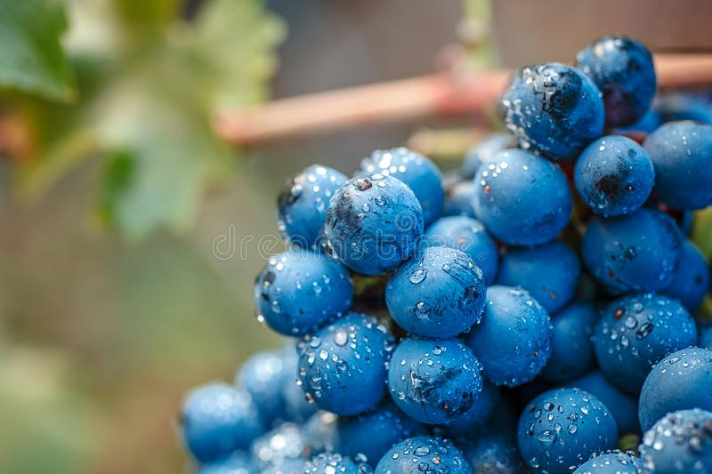 Vineyards at sunset in autumn harvest. Ripe grapes in fall. stock photography