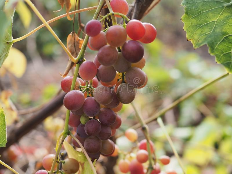 Vineyards at sunset in autumn harvest. Ripe grapes in fall.  stock photos