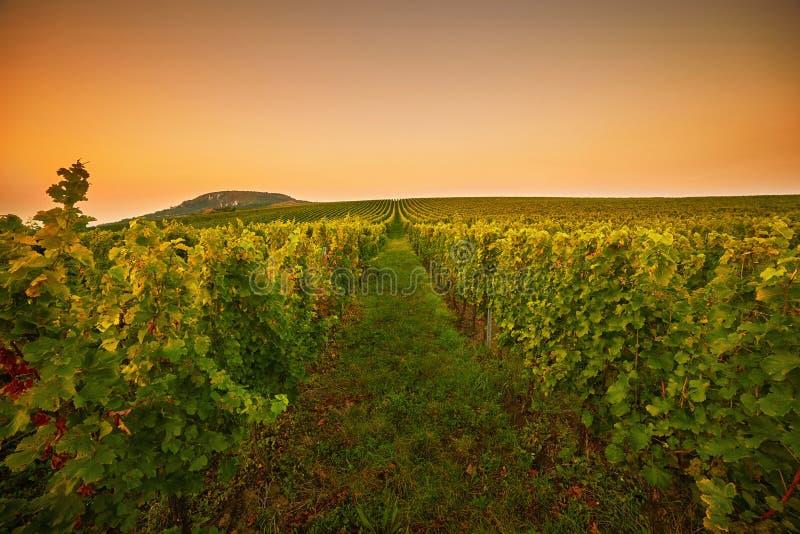 Vineyards at sunset. Toned royalty free stock photo