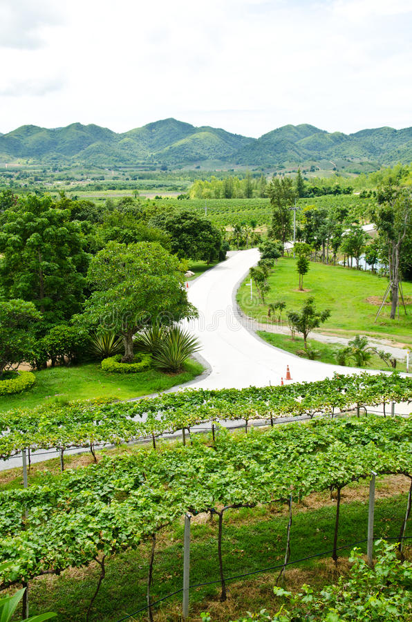 Vineyards in the valley. Hua Hin, Thailand royalty free stock image