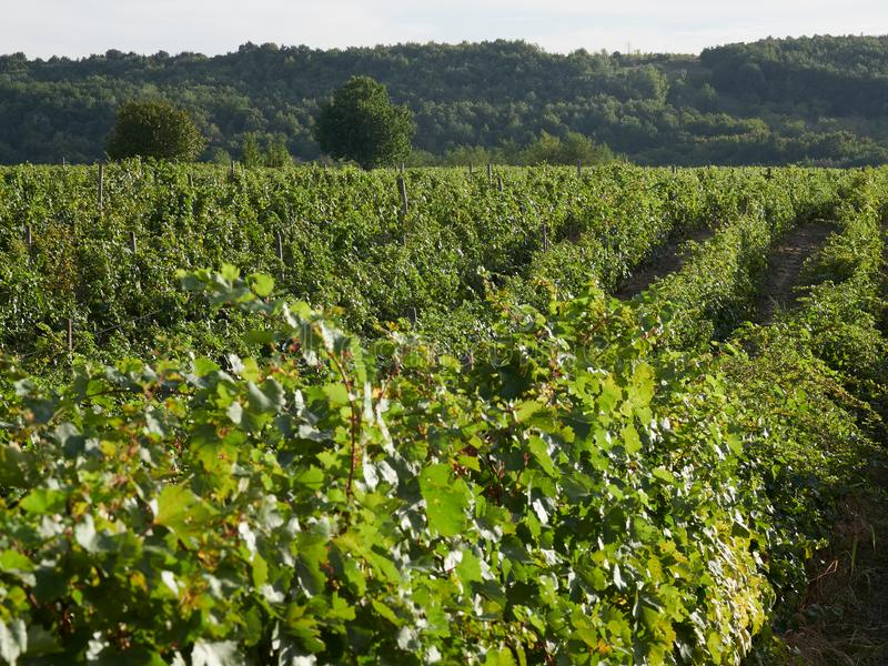 Vineyards in Vrancea, near Focsani, Romania. At harvest time stock photography