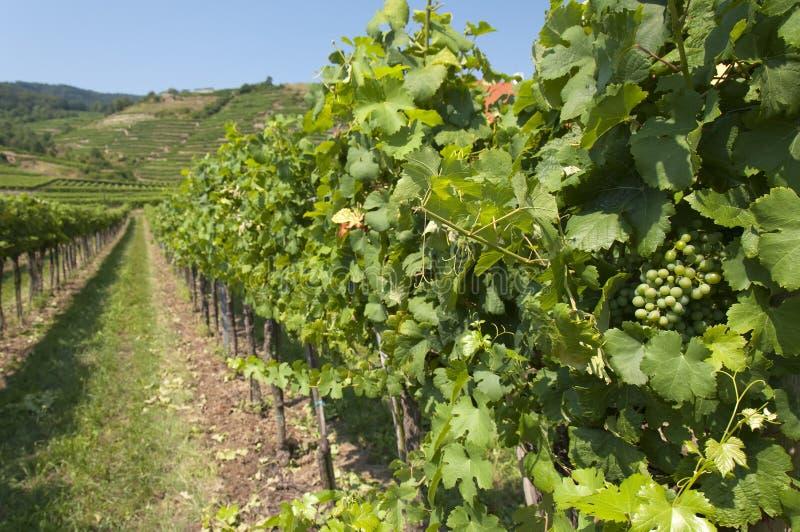 Download Vineyards Of Wachau Area, Austria Stock Photo - Image: 34443244
